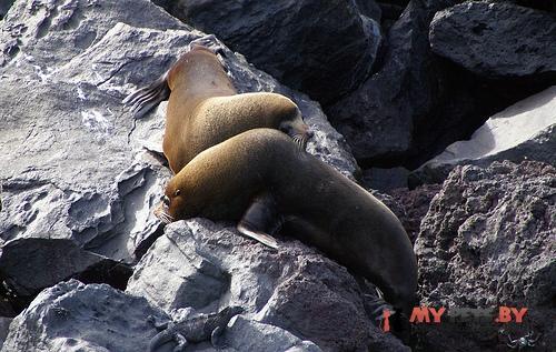 Котик морской галапагосский