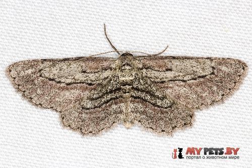 Glena plumosaria