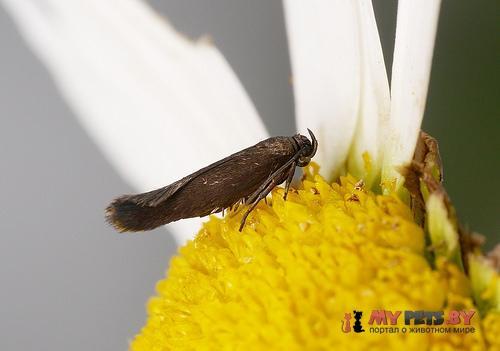 Scythris crassiuscula