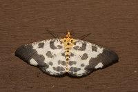 Ozola falcipennis