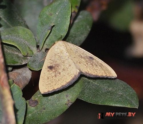 Hesperumia fumosaria