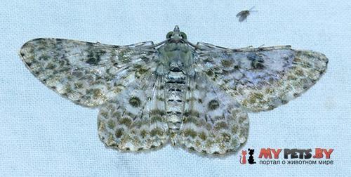 Cleora sabulata