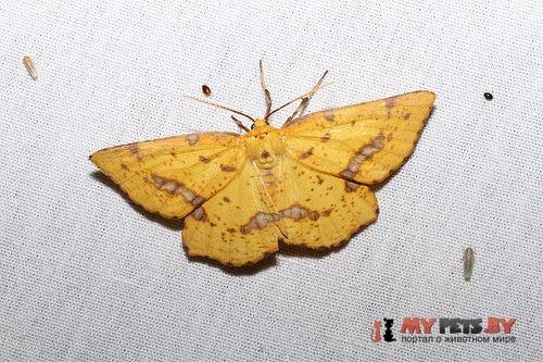 Xanthotype rufaria