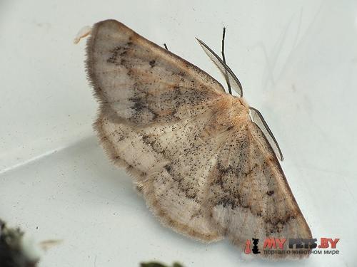 Dyscia penulataria