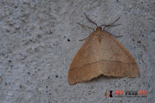 Pachyerannis obliquaria