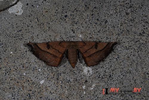 Acrodontis aenigma