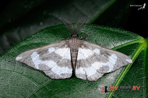 Hyposidra leucomela