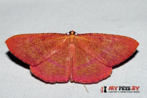 Eumelea rosalia