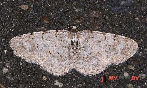 Aethalura ignobilis
