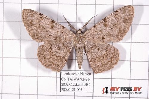 Hypomecis cineracea