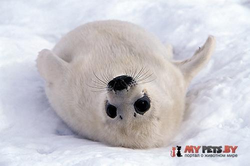 Saddleback seal