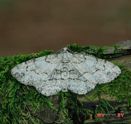 Anacamptodes ephyraria