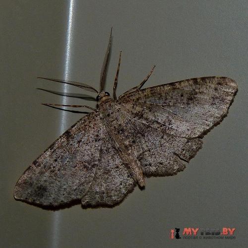 Hesperumia latipennis