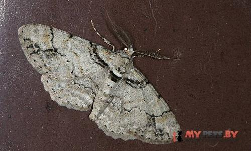 Cleora insolita