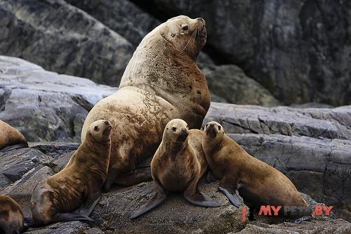 северный морской лев