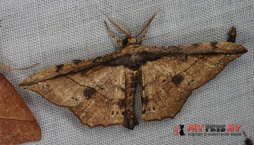 Acrodontis fumosa