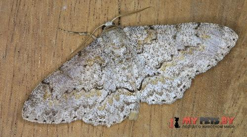 Cusiala boarmoides