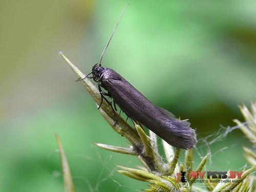 Scythris grandipennis