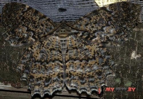 Amblychia pardicelata