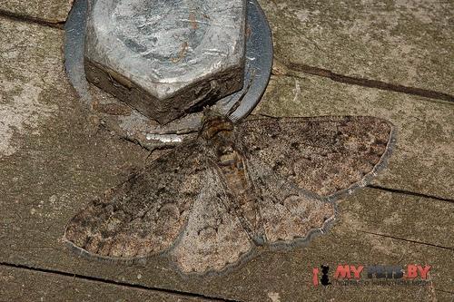 Cleora leucophaea