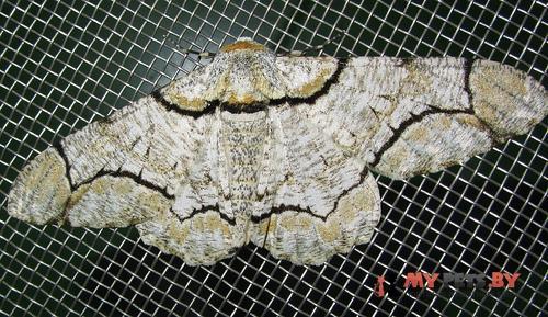 Biston contectaria
