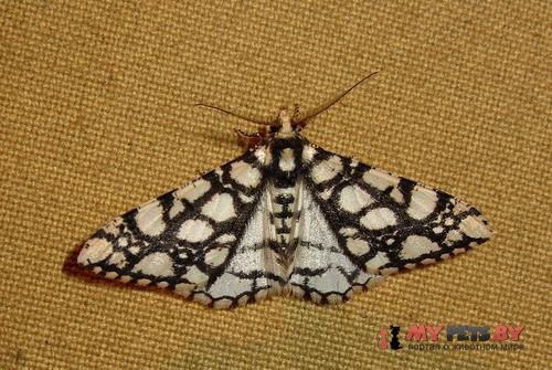 Alcis maculata