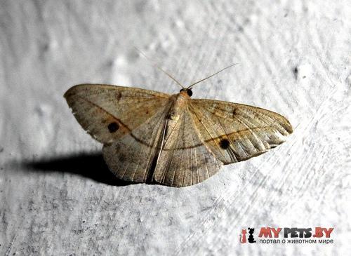 Conolophia nigripuncta