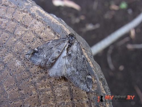Alsophila japonensis