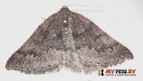 Lomographa distinctata