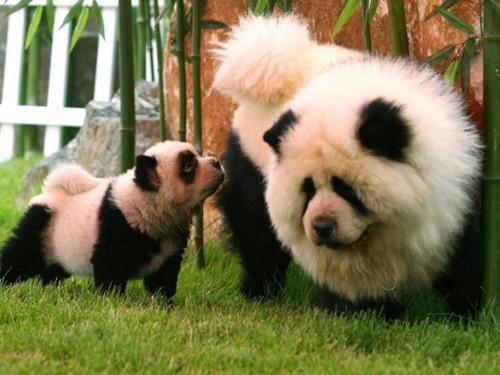 Circo-Orfei-di-Brescia-due-cani-Chow-Chow-truccati-da-Panda