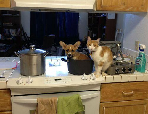 Corgi-cat-friends-2