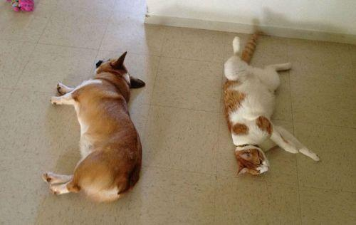 Corgi-cat-friends-4