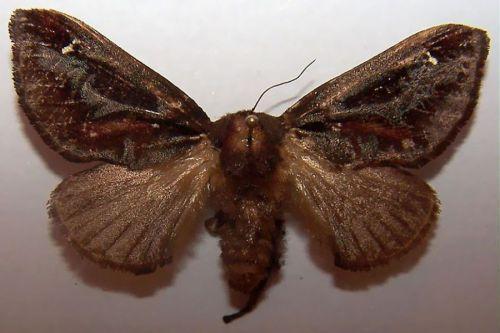 Acharia Stimulea