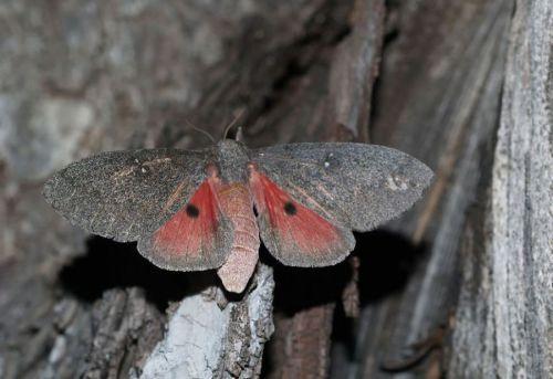Syssphinx hubbardi