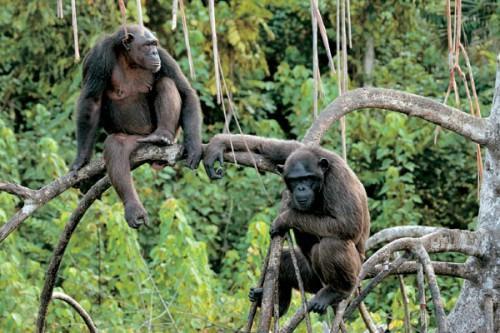 1421916838_shimpanze1