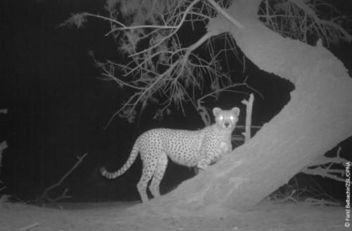 1422608622_4-saharan-cheetah-behind-a-tree