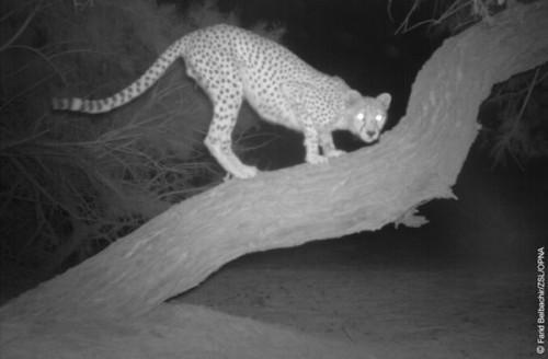 1422608635_3-saharan-cheetah-on-a-tree