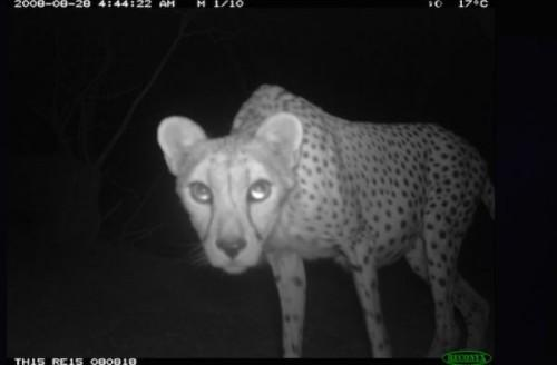1422608677_1-saharan-cheetah-closeup