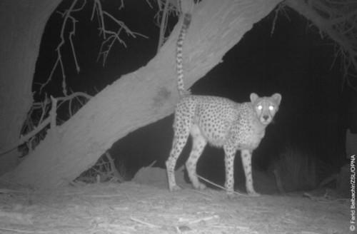 1422608679_5-saharan-cheetah-in-front-of-a-tree