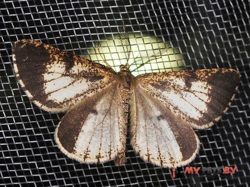 Bupalus vestalis