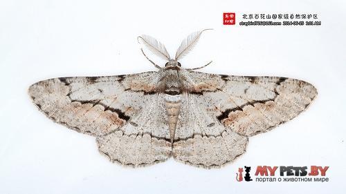 Phthonosema tendinosaria