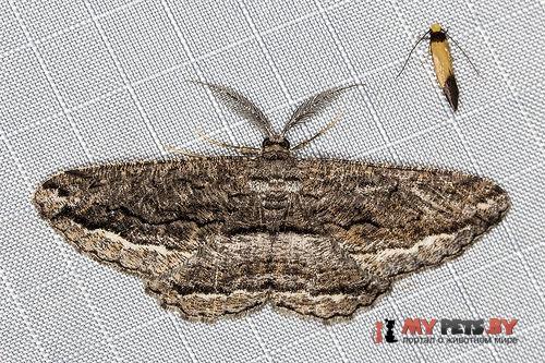 Scioglyptis canescaria