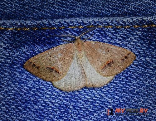 Drepanulatrix unicalcararia