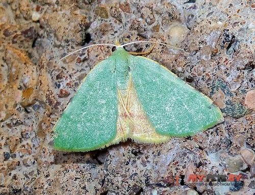 Chloraspilates bicoloraria