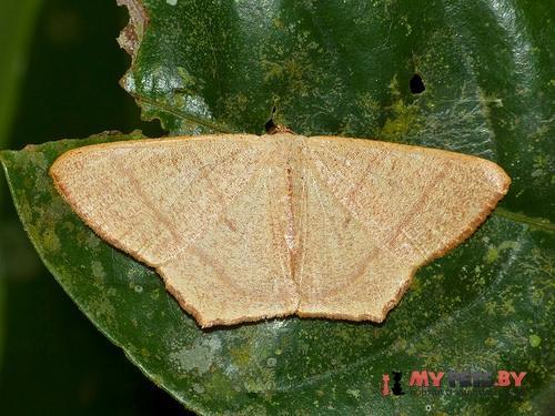 Syngonorthus subpunctatus