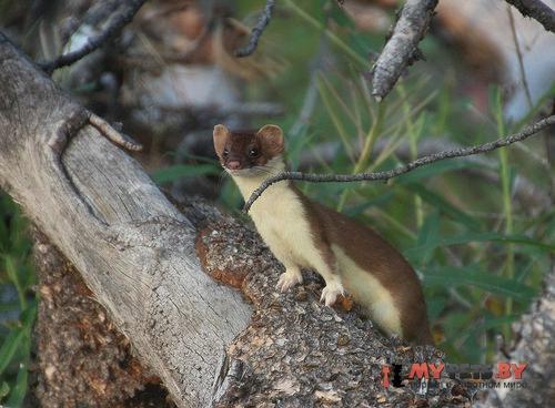 bridled weasel
