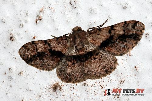 Satoblephara hollowayi