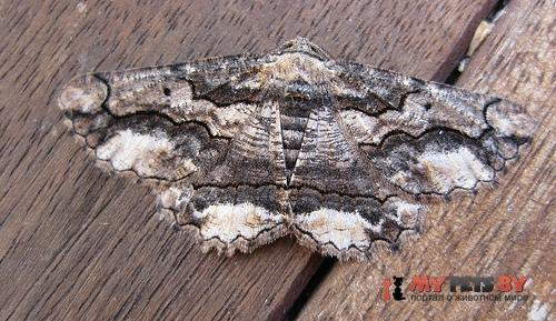 Menophra japygiaria