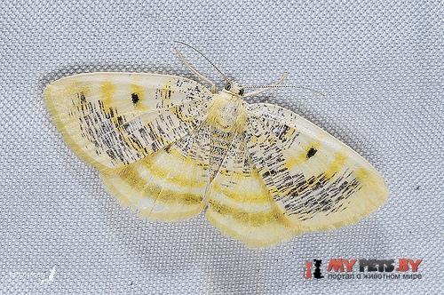 Euchristophia cumulata