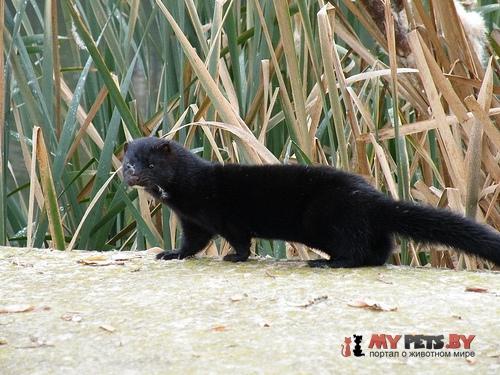 Russian mink